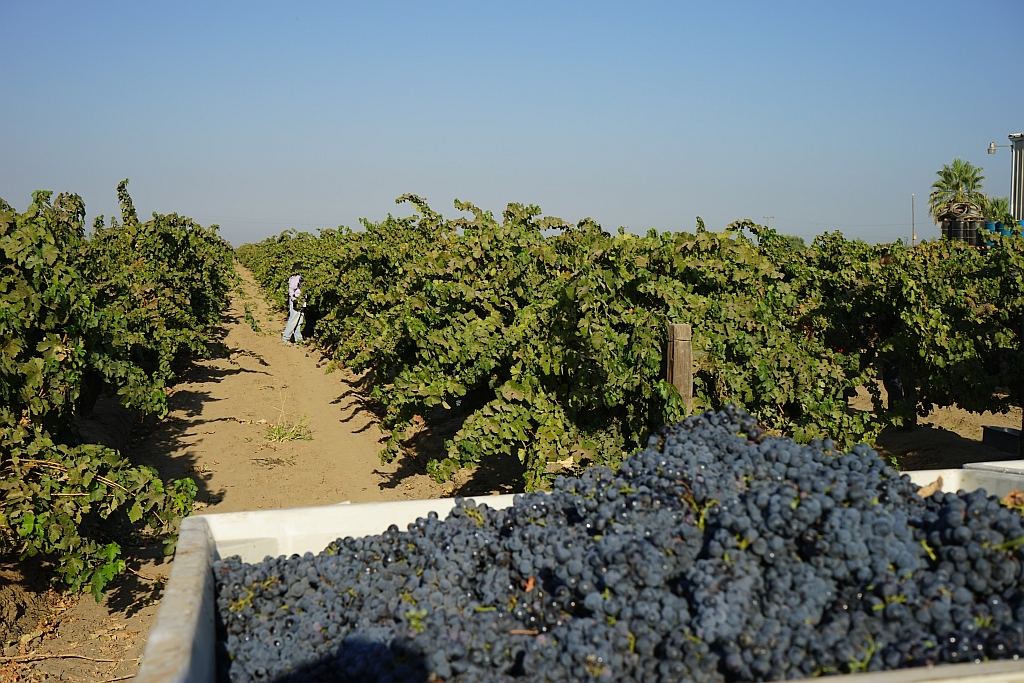 The Winemakers Stompin Grapes